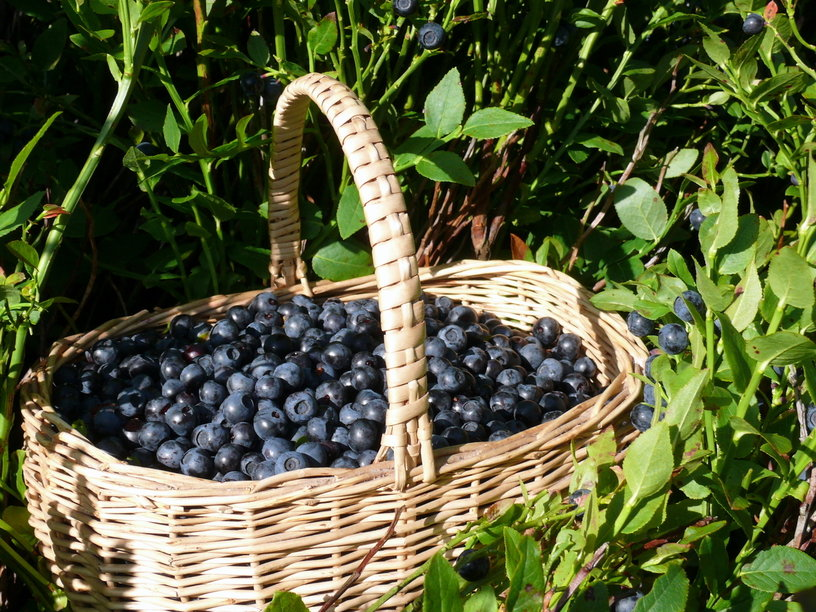Blueberry Harvest | Life, Love, and Good Food